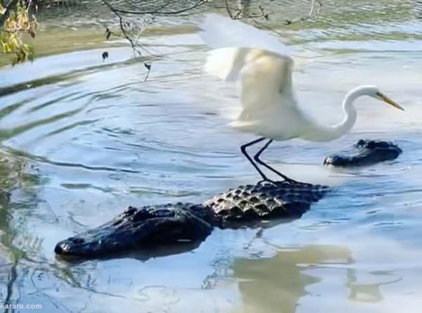 (ویدئو) سواری دریافت حواصیل شجاع از تمساح!